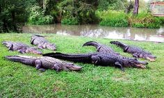 Groupon - Gator-Ranch Visit with Feedings for Two or Four People at Alligator Alley (Up to 52% Off) in Summerdale. Groupon deal price: $16