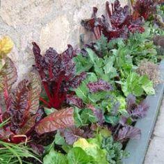 Patio lettuce garden ideas. http://themicrogardener.com/wp-content/uploads/2011/12/Edible-colour.jpg
