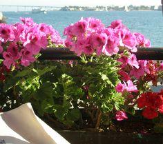 Geraniums - San Diego Bay