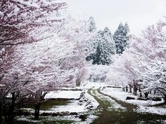 It's not every day you get to see cherry blossoms AND snow. But residents of Nagano prefecture were in for a surprise yesterday when their spring cherry blossom season was interrupted by a snowfall. But every snow cloud has a silver lining. The collaboration between flower and snow created a magical