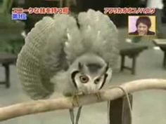 """""""transformer"""" owl - this little guy is not one to mess with at any size! Ignore the terrible music"""
