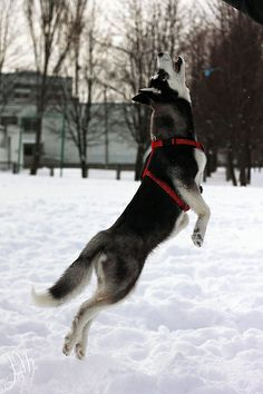 Siberian Husky jumping in the snow. By Irene Mei via Flickr.