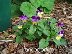 Viola Tricolour/Heartsease