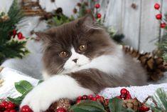 Chocolate & White Persian Kitten