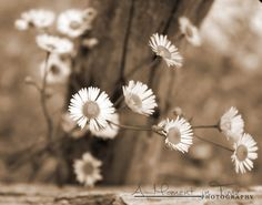 Daisy, Original Artwork ,Floral Photography, Picture of Flowers, Wall Art Nature, Home Decor Office Art Work, Office Decor, Country Chic