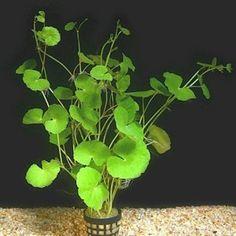 Learn How to Grow Brazilian Pennywort in an Aquarium