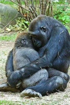 "Mother Gorilla Hugs B mother gorilla gently hugs it's 3 year old baby. ""One of the best things about watching the great apes is to capture a moment like this when they do something so human like."" Bronx Zoo, NY by Evan Animals, via baby Animals The Animals, Cute Baby Animals, My Animal, Funny Animals, Strange Animals, Wild Animals, Animals Planet, Young Animal, Animals Images"