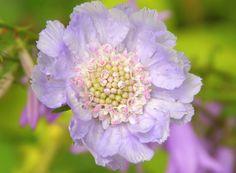 flower lila