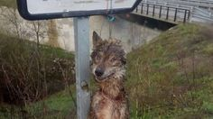 Protect the Iberian wolf banning their hunt. Stop wolf hunters to spree their irrational hate and cruelty SIGN THE PETITION please.