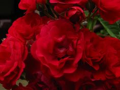 Macro of a family of gorgeous roses.