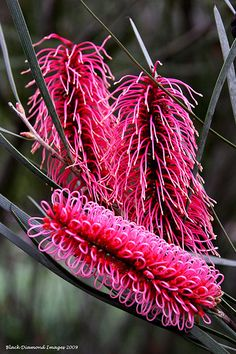 Hakea francisiana (Syn - Hakea coriacea) - Cork Tree, Bottlebrush Hakea, Pink Spike Hakea - © All Rights Reserved - Black Diamond Images Copyright - All Rights Reserved - Black Diamond Images Family : Proteaceae