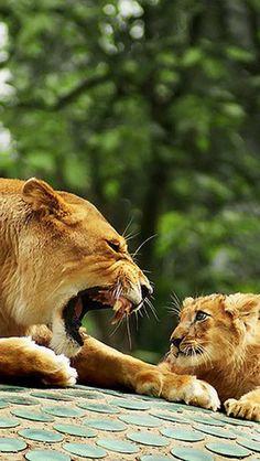Mother Son Lion