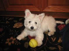 """""""Weechon"""" (westie/bichon mix) Is this not the cutest dog ever?!"""