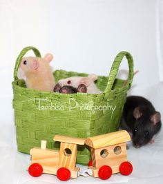 My four boy ratties at 6 weeks old. Photography done by: Tembisa Photography