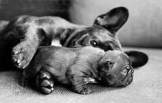 French Bulldog Father and Puppy