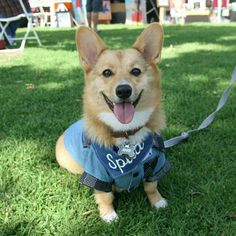 """Spud, Pembroke Welsh Corgi (9 m/o), Chula Vista Harborfest ▪ """"When he tries to pass the gap between the driver and passenger seats, he gets stuck because he's too fat."""""""