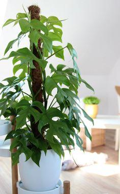 Philodendron 'Minima' … Monstera Minima M – Philodendron 'Minima' … Mon… Philodendron Monstera, Pond Waterfall, Office Plants, Plant Shelves, Container Plants, Houseplants, Indoor Plants, Garden Landscaping, Planting Flowers