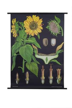 Sunflower Botanical Poster, totally remember this poster from high school biology class