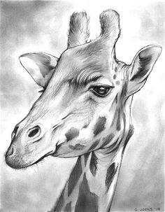Pencil drawing of a giraffe