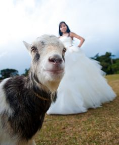 Goat photobombs wedding photo shoot.