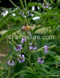 Blue Vervain:  The leaves & roots are used as an  antidiarrheal, analgesic, astringent, diaphoretic, emetic, expectorant, sedative, tonic, vermifuge, vulnerary. It is useful in intermittent fevers, ulcers, pleurisy, scrofula, gravel, easing pain in the bowels and expelling worms. A very strong infusion is emetic. As a medicinal poultice it is good in headache and rheumatism. An infusion of the plant is a good galactagogue (increases breast milk)