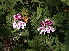 Pelargonium quercifolium Village Hill Oak.jpg