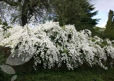 Exochorda × macrantha 'The Bride'