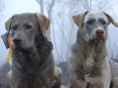 wolf dog hybrid photo | The dog on the right is a cross between a low content wolf dog and a ...