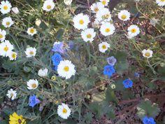 Bluebells and Tidy Tips-Desert Botanical Garden