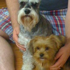 Scooter and Charlie  Yorkie Poodle mix Charlie #Yorkiepoo