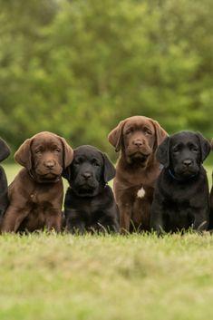 Sitting black and chocolate labrador retriever puppies Labrador Golden, Golden Retriever Labrador, Chocolate Labrador Retriever, Retriever Puppies, Pui Labrador, Labrador Puppies, Golden Retrievers, Orcas, Bulldogs