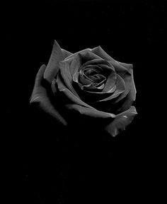 Rod Dresser Still-Life Photograph - Red Rose, Carmel, California Black And White Aesthetic, Red Aesthetic, Aesthetic Pictures, Black Flowers Wallpaper, Rose Wallpaper, Wallpaper Ideas, Iphone Wallpaper, Black And White Picture Wall, Black And White Pictures