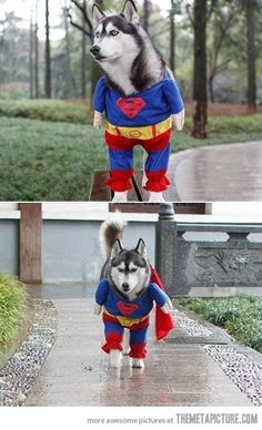 Because what is better than a Husky in a Superman outfit?