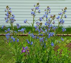 Don't Want No Short Flowers 'Round Here - Grow Tall Italian Bugloss