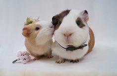 A guinea pig black tie affair