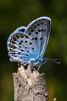 Descriptions and articles about the Silver-studded Blue, scientifically known as Plebejus argus in the Encyclopedia of Life. Butterfly Kisses, Butterfly Flowers, Blue Butterfly, Blue Dragonfly, Flying Flowers, Butterflies Flying, Beautiful Bugs, Beautiful Butterflies, Flora Und Fauna