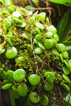 Pyrrosia piloselloides  Влажные тропики - Exofrogs