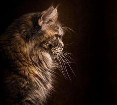 maine-coon-cat-photography-robert-sijka-35-57ad8ef8b3d58__880 http://www.mainecoonguide.com/