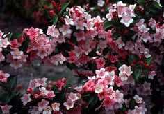 Beechwood Landscape Architecture and Construction: Carnaval Old Fashioned Weigela, Deciduous Shrub, woody plant of The Day