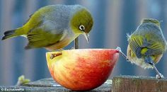 The silvereye is a real-life eye-opener. Also known as wax-eye, or white-eye, the diminutive birds can be found in New Zealand, as well as Australia and some of the southwest Pacific Islands, including Fiji.