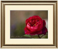 Leinwandbild oder Kunstdruck mit eleganter englischer Rose