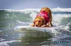Wherever the waves are choice, that's where you'll find Turbo, a loveable Golden Retriever who loves to surf.