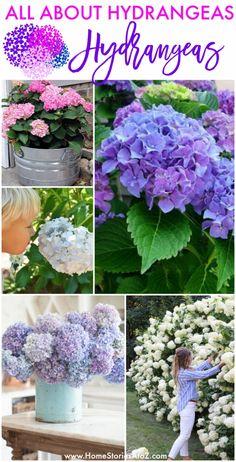 Hydrangea Potted, Hydrangea Varieties, Hydrangea Care, Hydrangea Flower, Flower Pots, Hydrangea Landscaping, Pruning Hydrangeas, Hydrangea Seeds, Hydrangea Bloom
