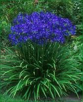 Agapanthus - mostly blues and whites