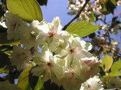 桜(御衣香)