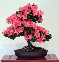Satsuki Azalea Rhododendron indicum 'Kazan' In training since 1987 Garden Terrarium, Bonsai Garden, Garden Trees, Flowering Bonsai Tree, Bonsai Tree Types, Ikebana, Bonsai Art, Bonsai Plants, Gardening