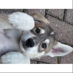Can I have one please?!  #northerninuit #wolfdog #gameofthrones #adorable #wantone #please #puppy #Padgram