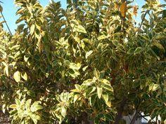 Plantas variegadas são todas aquelas com folhas verdes manchadas em suas extremidades de branco, creme ou outras cores, que atualmente f...