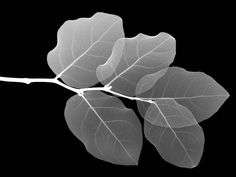 Black And White Leaf Wallpaper Black And White Google, Black And White Leaves, White Leaf, Black And White Pictures, Black White, White Style, Snow White, Plant Wallpaper, Leaves Wallpaper