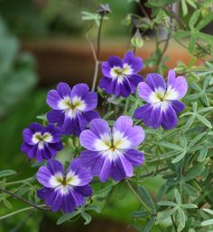 Tropaeolum azureum - Blue Nasturtium Tall Plants, Foliage Plants, Leaf Flowers, White Flowers, Balcony Plants, Variegated Plants, Planting Flowers, Flower Gardening, Calla Lily